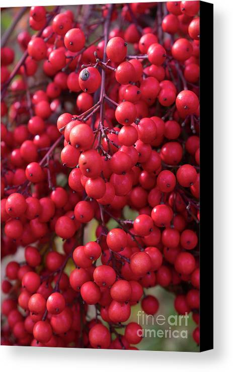 Pictures Of Flowers Canvas Print featuring the photograph Berries by Skip Willits