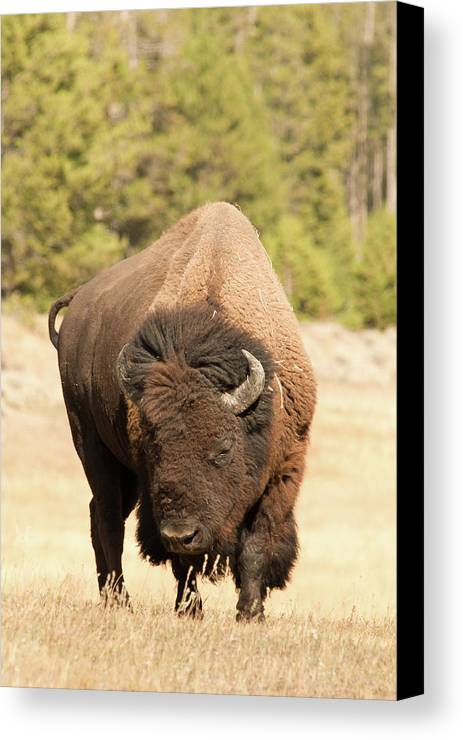 Vertical Canvas Print featuring the photograph Bison by Corinna Stoeffl, Stoeffl Photography