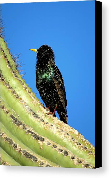 Arizona Black Bird Canvas Print featuring the photograph Blackie by Selma Glunn