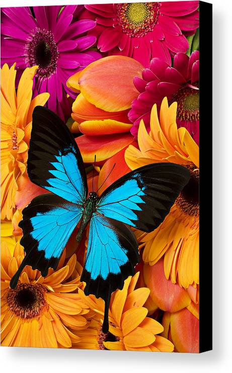 Butterfly Tulips Daisy's Canvas Print featuring the photograph Blue Butterfly On Brightly Colored Flowers by Garry Gay