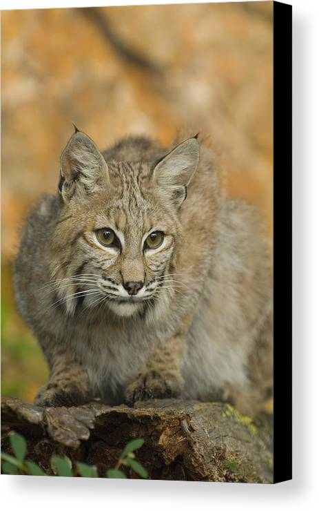 Alertness Canvas Print featuring the photograph Bobcat Felis Rufus by Grambo Photography and Design Inc.