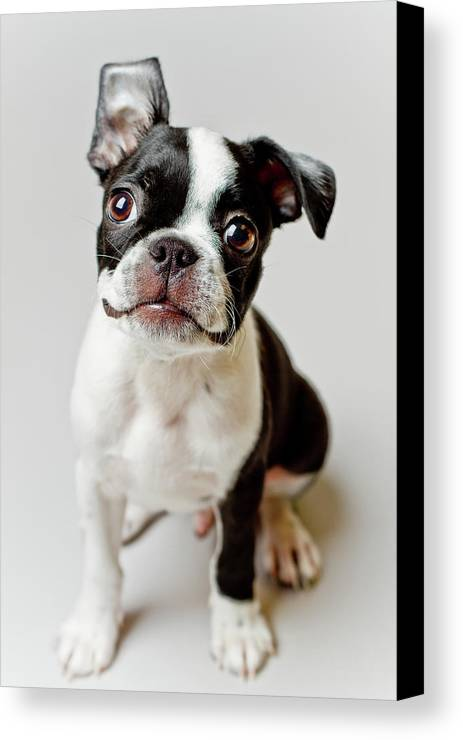 Vertical Canvas Print featuring the photograph Boston Terrier Dog Puppy by Square Dog Photography