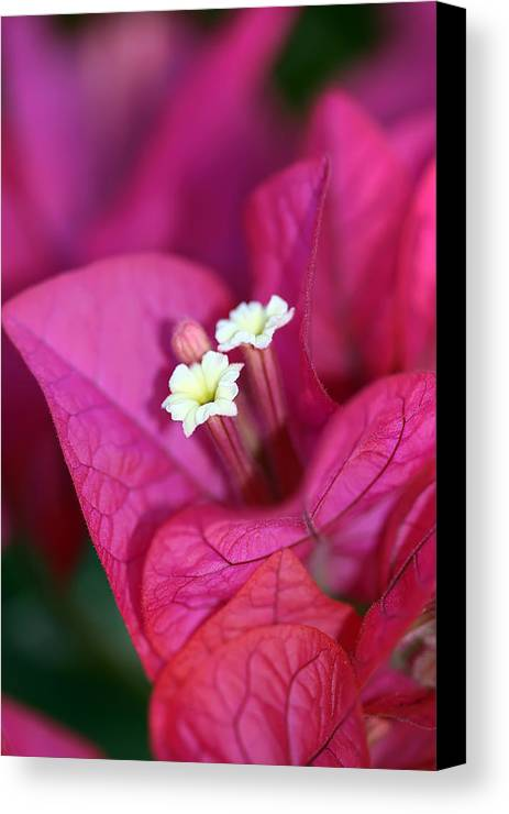 Bougainvillea Canvas Print featuring the photograph Bougainvillea Burst by Lesley Smitheringale