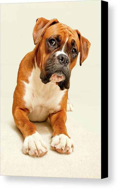 Vertical Canvas Print featuring the photograph Boxer Dog On Ivory Backdrop by Danny Beattie Photography