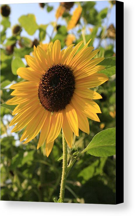 Sunflowers Canvas Print featuring the photograph Brilliant By Association by Alan Rutherford
