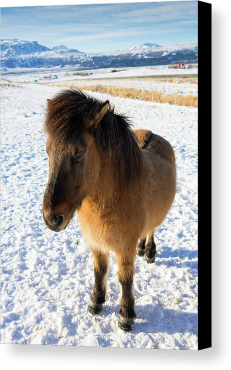 Horse Canvas Print featuring the photograph Brown Icelandic Horse In Winter In Iceland by Matthias Hauser
