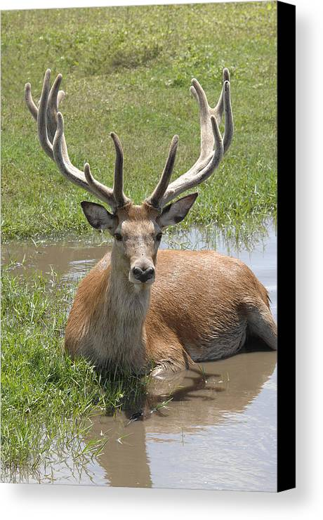 Buck Canvas Print featuring the photograph Buck by Keith Lovejoy