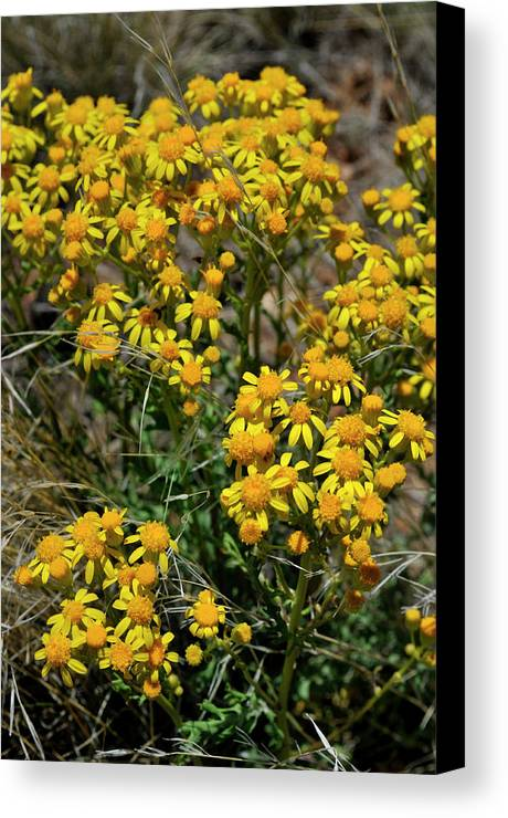 Landscape Canvas Print featuring the photograph Burst Of Yellow by Ron Cline