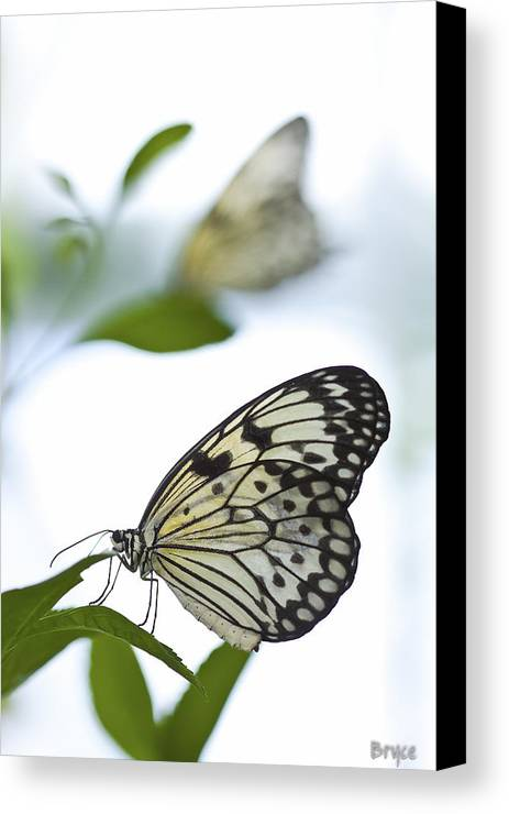Opmagnaturescolors Canvas Print featuring the photograph Butterflies by Bryce Flynn