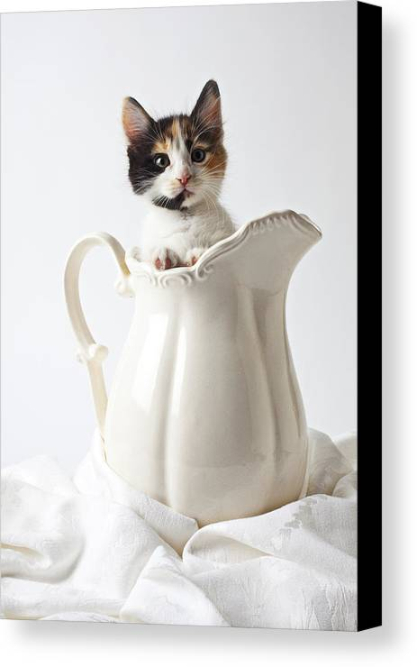 Calico Kitten White Pitcher Canvas Print featuring the photograph Calico Kitten In White Pitcher by Garry Gay
