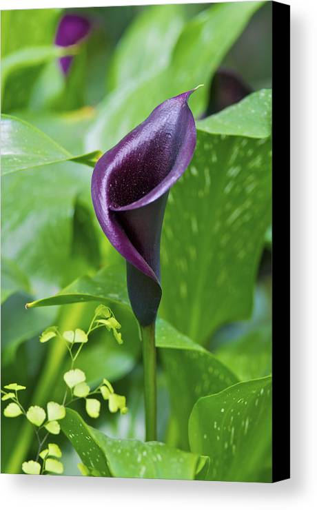 Arum Canvas Print featuring the photograph Calla Lily by Gerry Walden