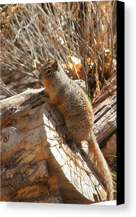 Squirrel. Animal Canvas Print featuring the photograph Canyon Squirrel by Donald Tusa