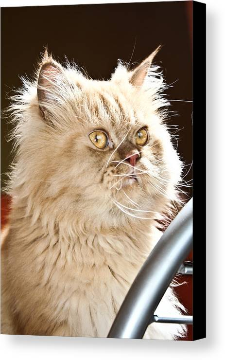 Cat Canvas Print featuring the photograph cat by Buta Gabriel