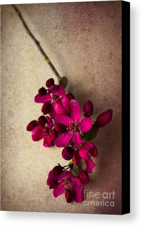 Cherry Blossom Canvas Print featuring the photograph Cherry Pie by Jan Bickerton