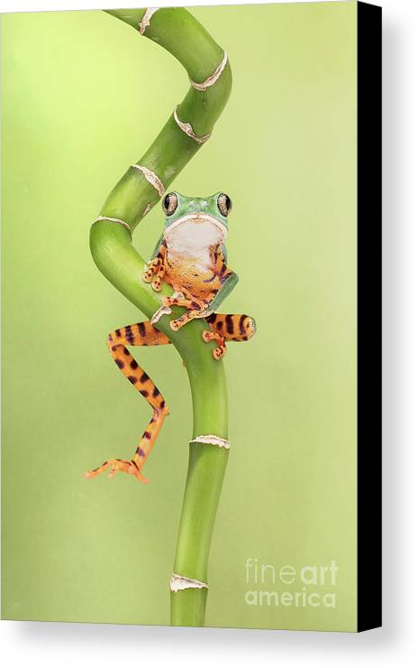 Small Canvas Print featuring the photograph Chilling Tiger Leg Monkey Tree Frog by Linda D Lester