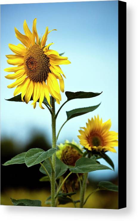 Vertical Canvas Print featuring the photograph Close Up Of Sunflowers by Philippe Doucet