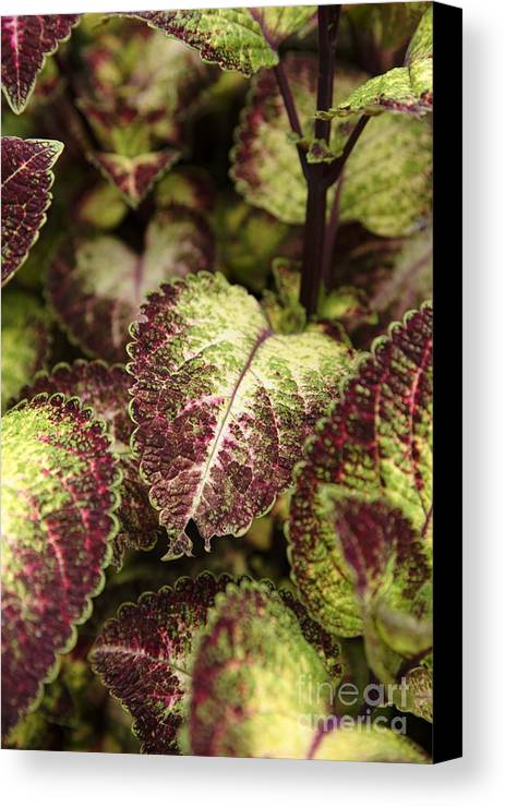New England Canvas Print featuring the photograph Coleus Plant by Erin Paul Donovan