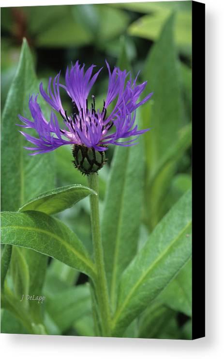 Cornflower Canvas Print featuring the photograph Cornflower Purple Surprise V1 by Janet DeLapp