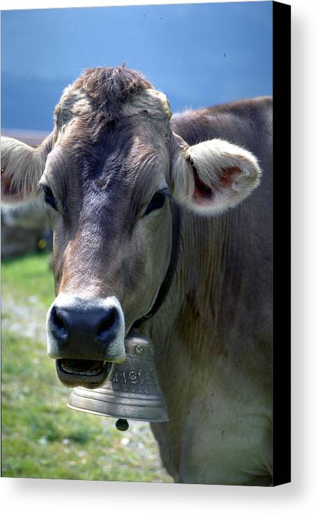 Cow Canvas Print featuring the photograph Cow by Flavia Westerwelle
