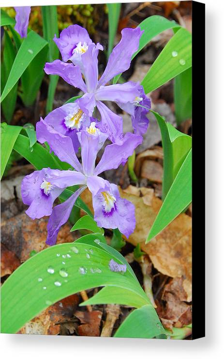 Iris Canvas Print featuring the photograph Crested Dwarf Iris by Alan Lenk