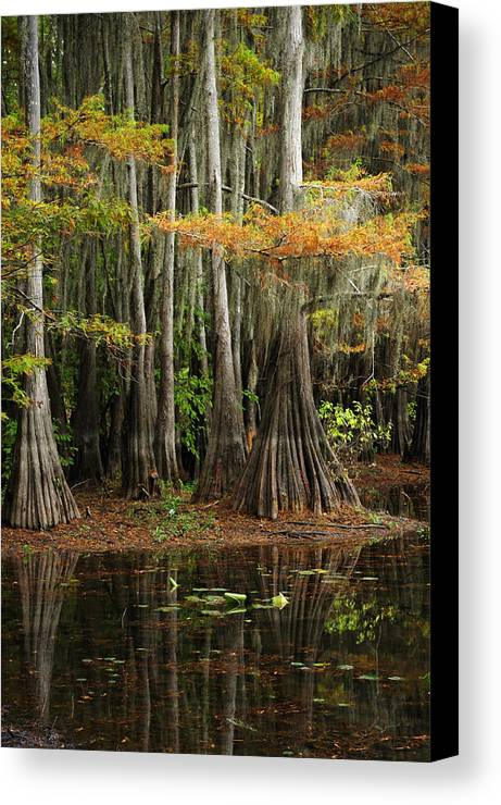 Landscape Canvas Print featuring the photograph Cypress Trees Forest by Iris Greenwell