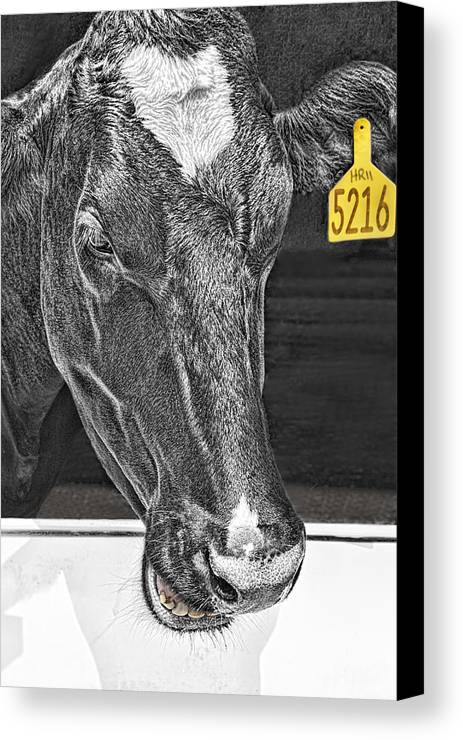Cow Canvas Print featuring the photograph Dairy Cow Number 5216 by Mitch Spence