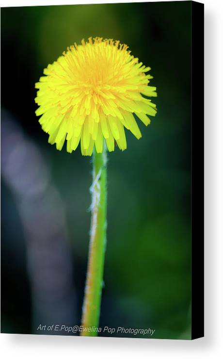 Flower Canvas Print featuring the photograph Dandelion Flower by Ewelina Pop