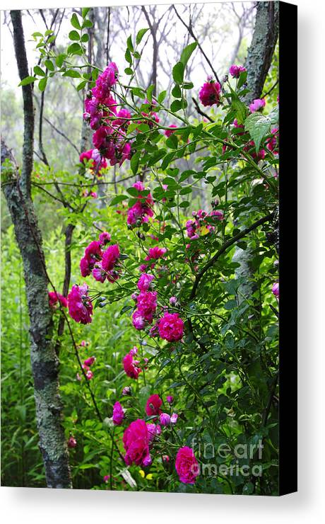 Wild Rose Canvas Print featuring the photograph Domestic Rose Gone Wild by Thomas R Fletcher