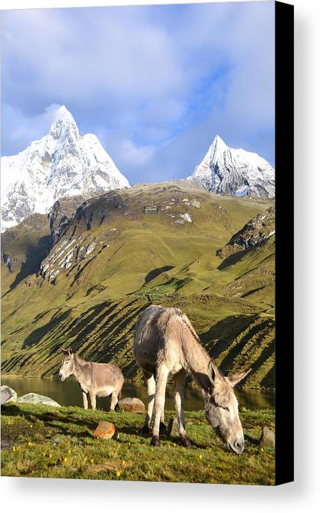 Snowy Canvas Print featuring the photograph Donkeys Grazing In The Mountains by Harry Coburn