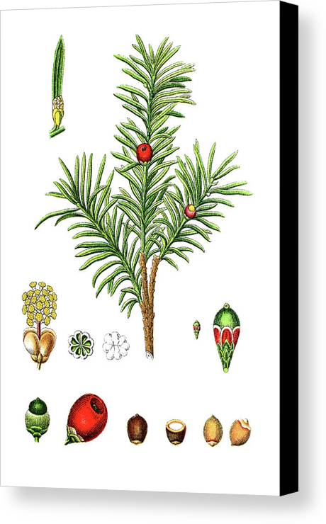 english yew or european yew taxus baccata canvas print canvas