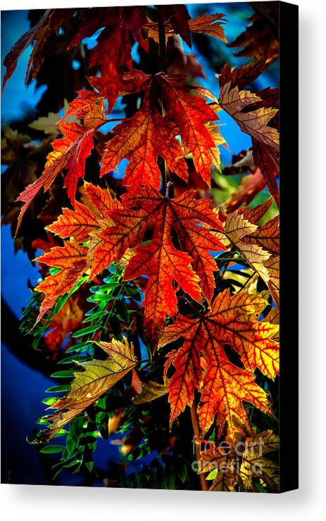 Maple Canvas Print featuring the photograph Fall Reds by Robert Bales