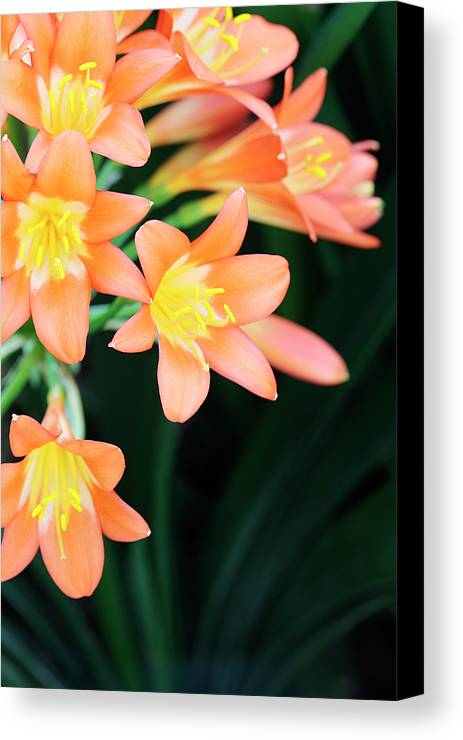 Clivia Canvas Print featuring the photograph Fire Lily 2 by Neil Overy
