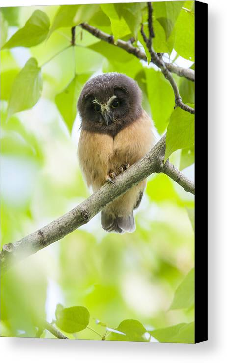 Alaska Canvas Print featuring the photograph Fledgling Saw-whet Owl by Tim Grams
