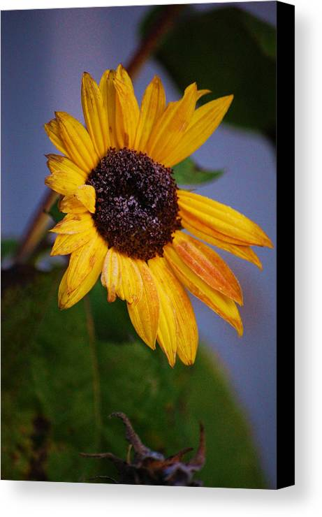 Flower Canvas Print featuring the photograph Frosty Sunflower by Jame Hayes