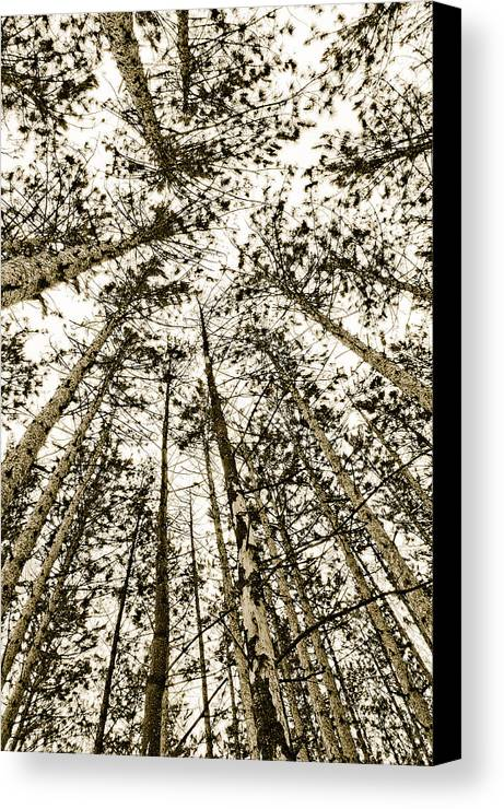 Pine Trees Canvas Print featuring the photograph Fulfillment by Linda McRae