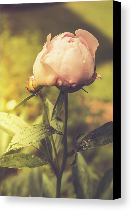 Pink Canvas Print featuring the photograph Gardenia by Debbie Gracy