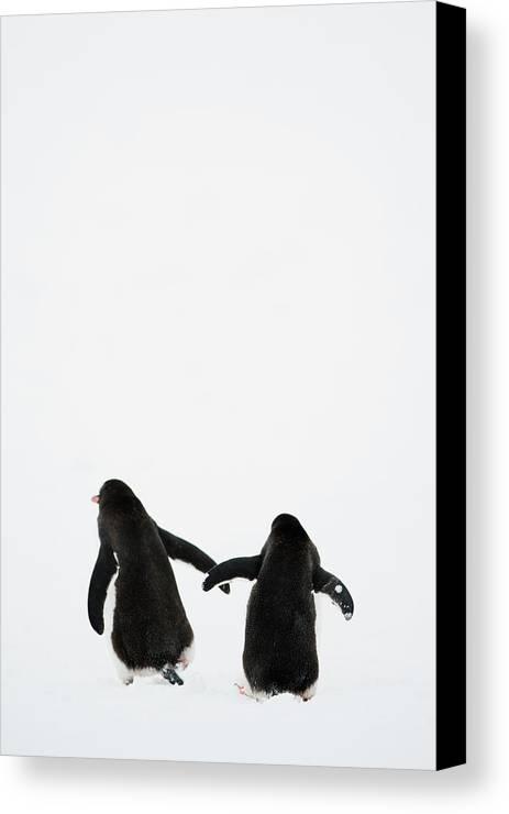 Vertical Canvas Print featuring the photograph Gentoo Penguin (pygoscelis Papua) by Elliott Neep