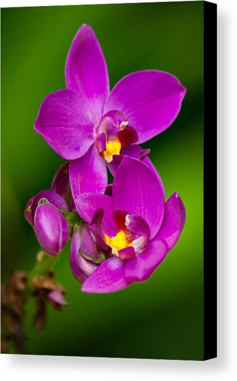 Flower Canvas Print featuring the photograph Grapette Ground Orchid by Duane Lipham