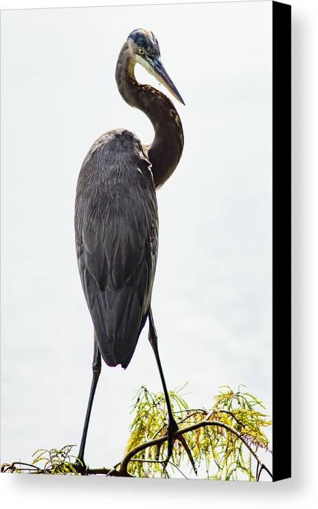 Animal Canvas Print featuring the photograph Great Blue Heron Surprised From Behind by Duane Lipham