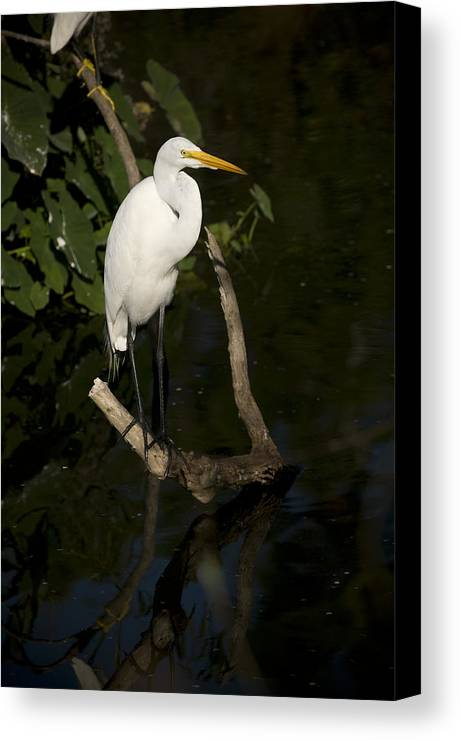 Great Egret Canvas Print featuring the photograph Great Egret by Chad Davis