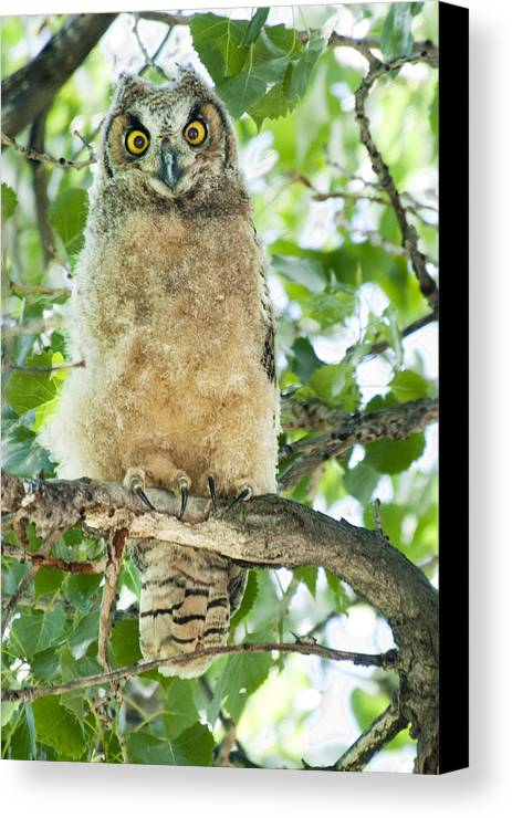 Owl Canvas Print featuring the photograph Great Horned Owl by Gary Beeler