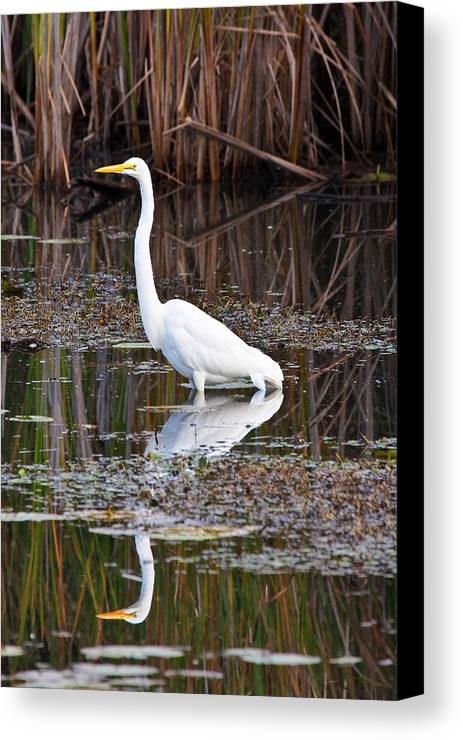 Michigan Canvas Print featuring the photograph Great White Egret by James Marvin Phelps