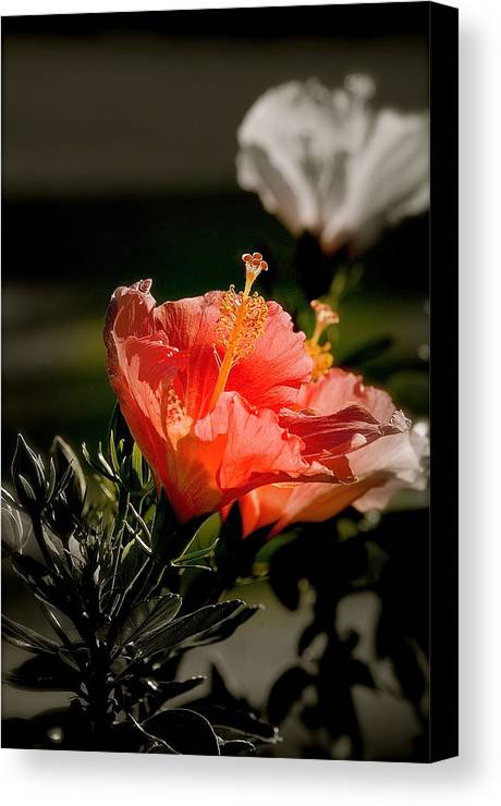 Flower Plant Leaves Canvas Print featuring the photograph Hibiscus by Lucrecia Cuervo