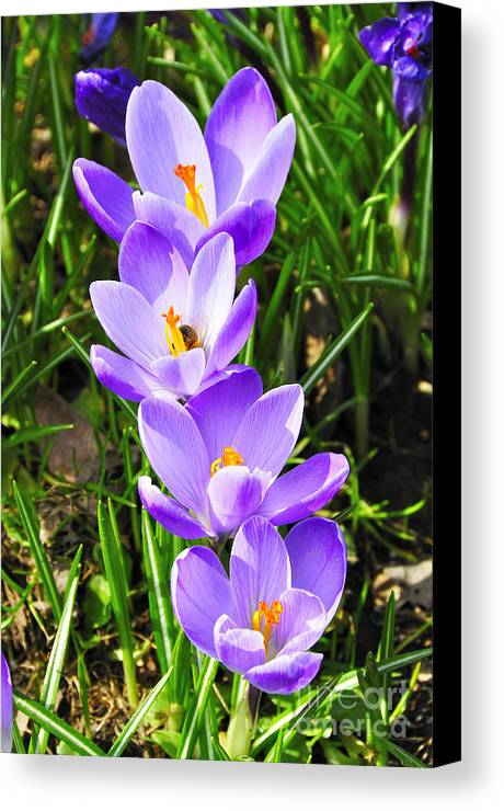 Crocus Canvas Print featuring the photograph Honeybee Working Crocus by Thomas R Fletcher