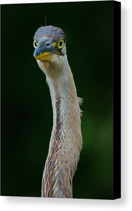 Bird Canvas Print featuring the photograph I Am A Bird by Toshihide Takekoshi