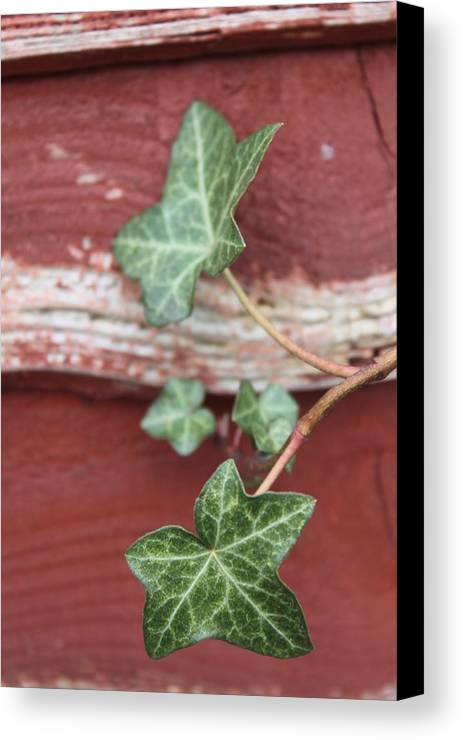 Ivy Canvas Print featuring the photograph Ivy by Lauri Novak