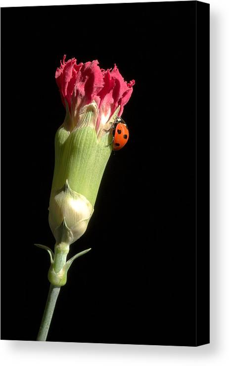 Lady Bug Canvas Print featuring the photograph Lady Bug On Pink Flower by Pierre Leclerc Photography
