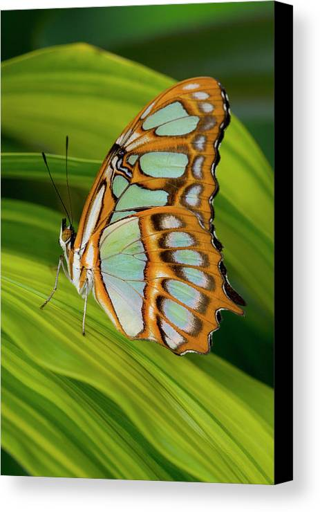 Vertical Canvas Print featuring the photograph Malachite Butterfly (siproeta Stelenes) On Rhapis Palm Leaves (rhapis Excelsa) by Darrell Gulin