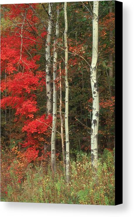 Fall Canvas Print featuring the photograph Maple And The Birch by Raju Alagawadi