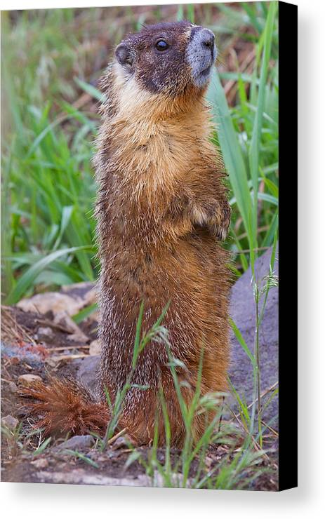 Marmot Canvas Print featuring the photograph Marmot Love by Naman Imagery